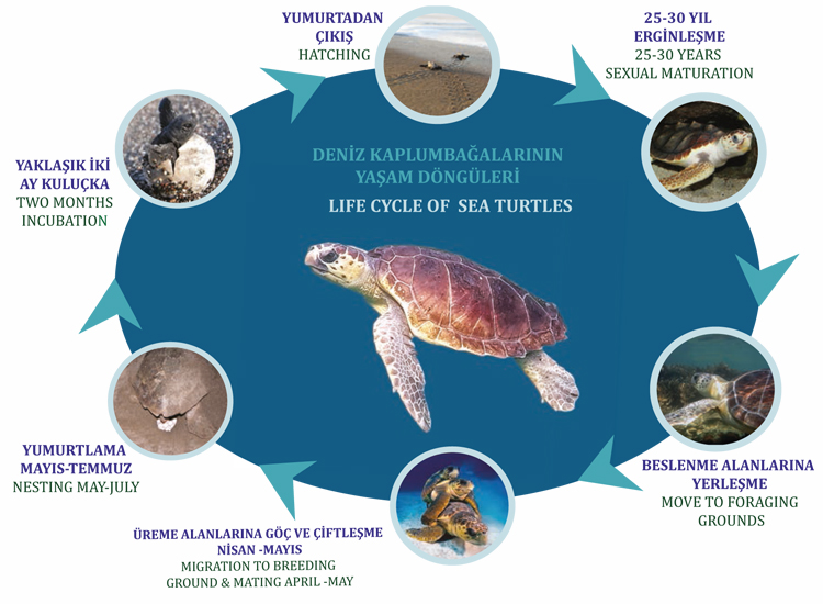 Life Cycle Of Sea Turtles